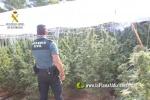 Segorbe :: Un detingut i un investigat per cultivar més de 600 plantes de marihuana a Segorbe